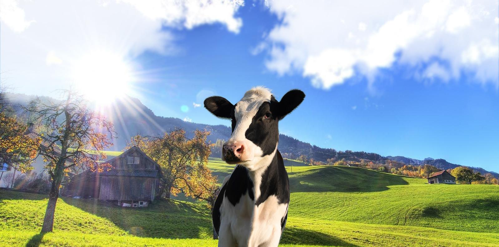 مزرعه و گاو صفحه اصلی